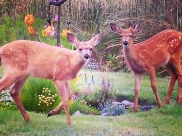 2 deer near flower bed