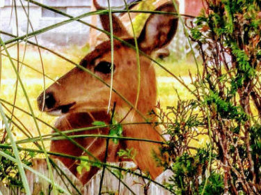 deer looking to the side behind shrubbery